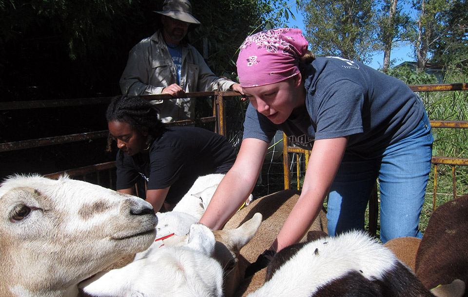 Scattergood students working with sheep